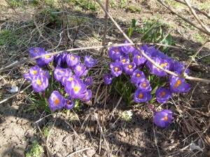 These purple crocus are done, but they were pretty while they lasted