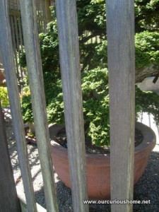 a bonsai behind a fence a the Arnold Arboretum