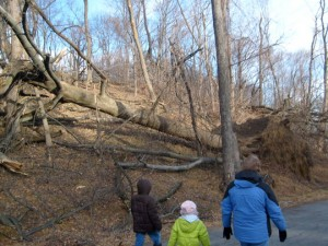 One of the many trees down from Sandy