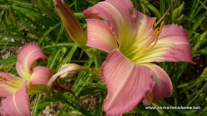 day lily that reminds me of Aunt Bev