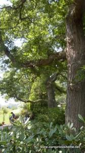 An oak tree at Tranquil Lake