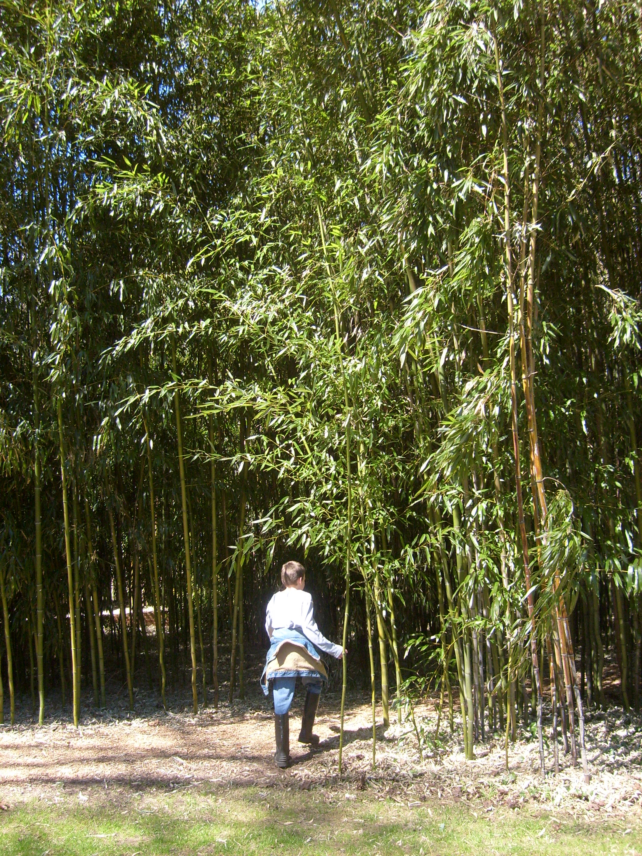 M entering the bamboo grove at Blythewold Mansion and Gardens