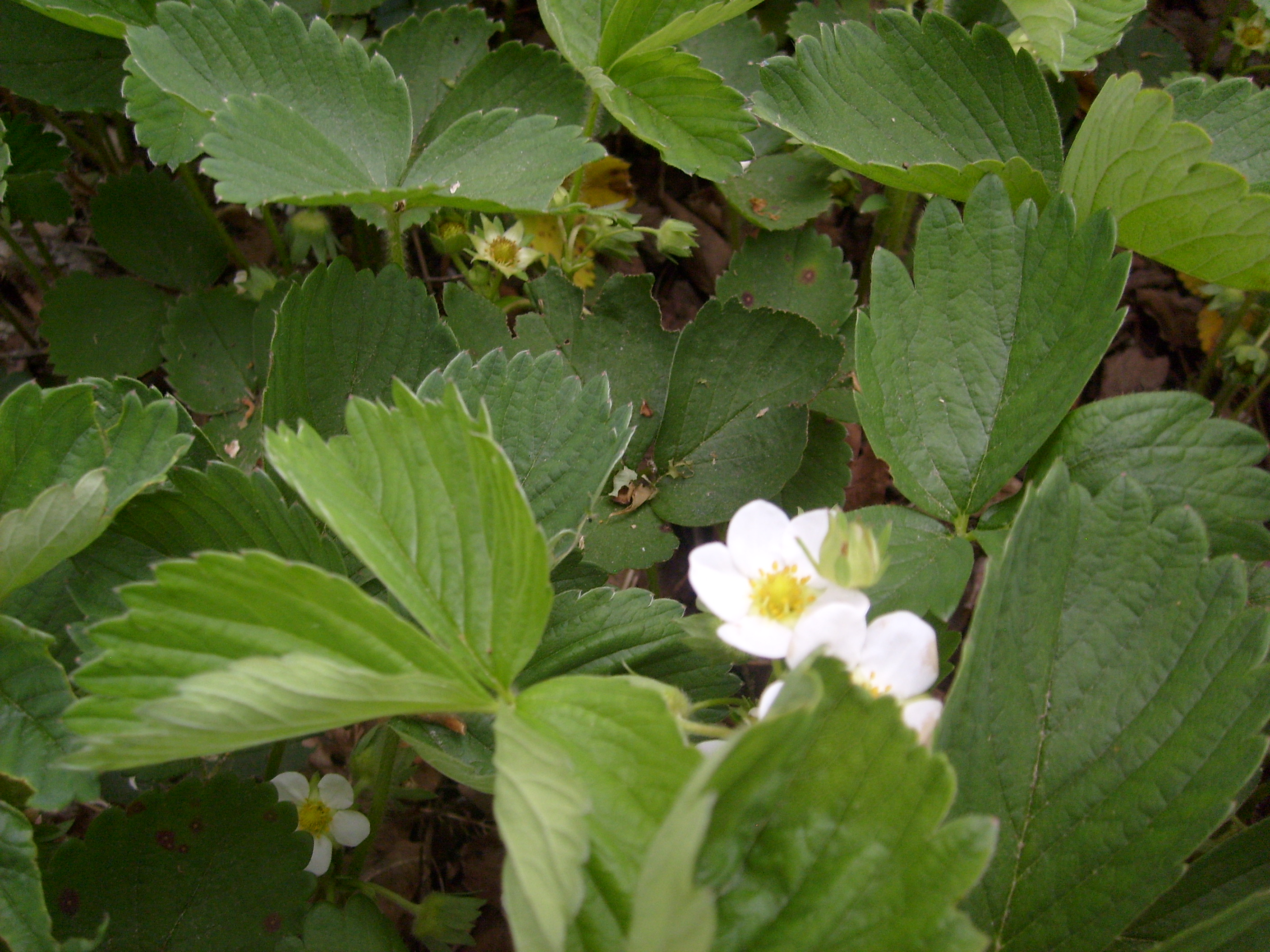 Strawberry blossom, Memorial Day
