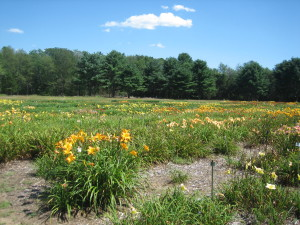 Day Lily Field at Tranquil Lake
