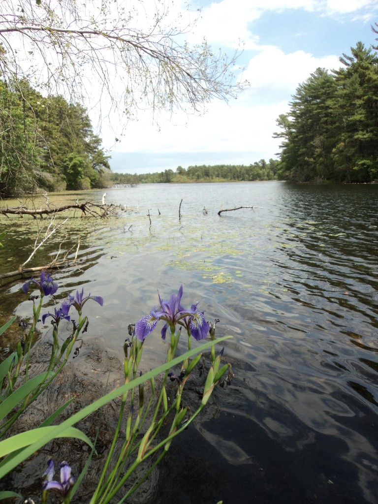 iris growing at the pond edge
