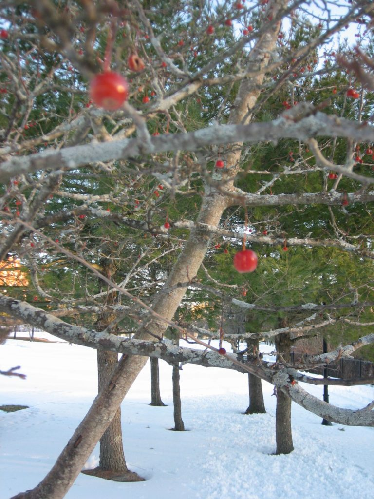 ornamental cherries in front of the pine trees in River Walk Park